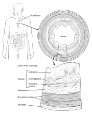 Esophageal Anatomy