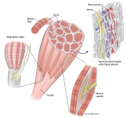 Muscle Structures